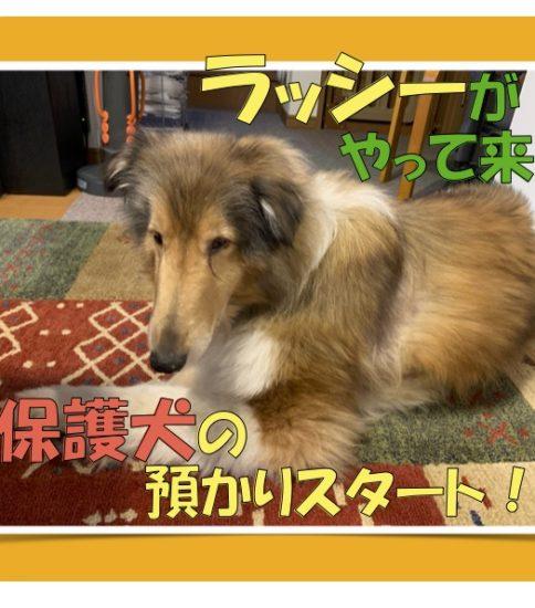 とうとう【保護犬】預かりスタート!名犬ラッシーが来たよ(^_^)v